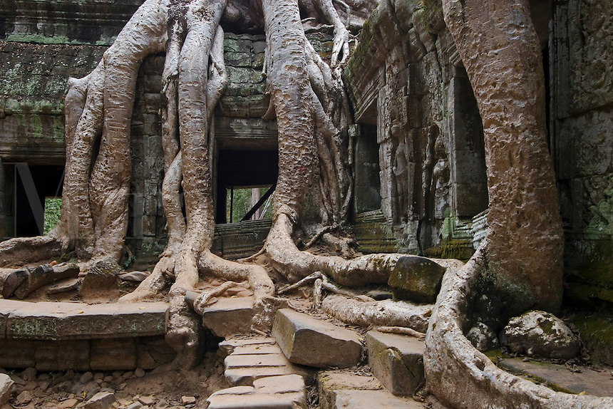 Silk cotton or kapok tree roots (Ceiba Pentandra) invade the Khmer ruins of Ta Prohm, built by Jayavarman VII, part of Angkor Wat - Siem Reap, Cambodia....
