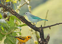 Blue-gray tanager, Thraupis episcopus quaesita, and golden tanager, Tangara arthus goodsoni. Tandayapa Valley, Ecuador