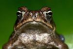 Wet Forest Toad, Bufo melanochlorus, Hacienda Baru, Costa Rica, tropical jungle, on forest floor, portrait.Central America....