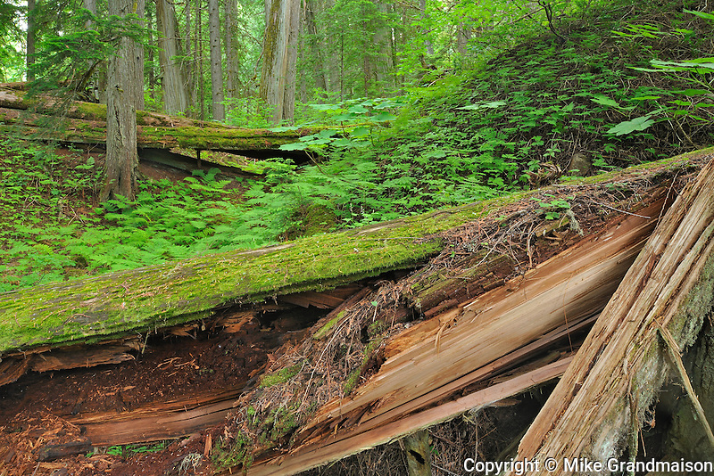 Inland temperate rain forest on Giant Cedars Trail<br /> Mount Revelstoke National Park<br /> British Columbia<br /> Canada