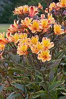 Alstroemeria Summer Breeze. Photocredit ©Ball Colegrave (Sourced by GardenPhotos.com)
