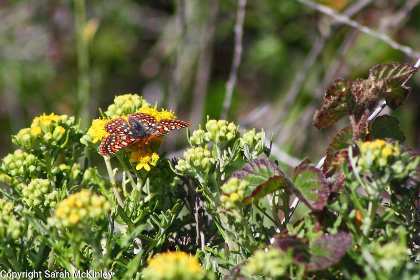 A checkerspot butterfly has landed on yellow flowers among the brambles north of Westport on Highway 1 in Mendocino County in Northern California.