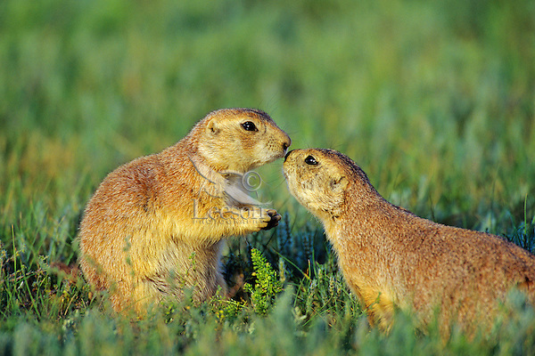 Two Black-tailed Prairie Dogs  (Cynomys ludovicianus) greeting.