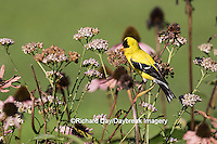 01640-16308 American Goldfinch (Spinus tristis) male in flower garden, Marion Co., IL