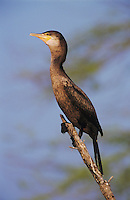 Double-crested Cormorant, Phalacrocorax auritus,immature, Lake Corpus Christi, Texas, USA, May 2003