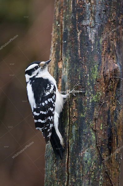 Downy Woodpecker (Picoides pubescens), male, foraging on a dead stump. Michigan.