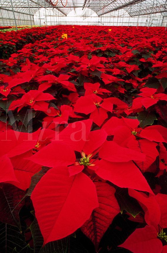 Close up of pointsettia plants growing in a nursery greenhouse. Oregon.