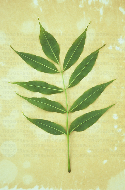 Spring green leaf of Common ash or Fraxinus excelsior tree lying on antique paper