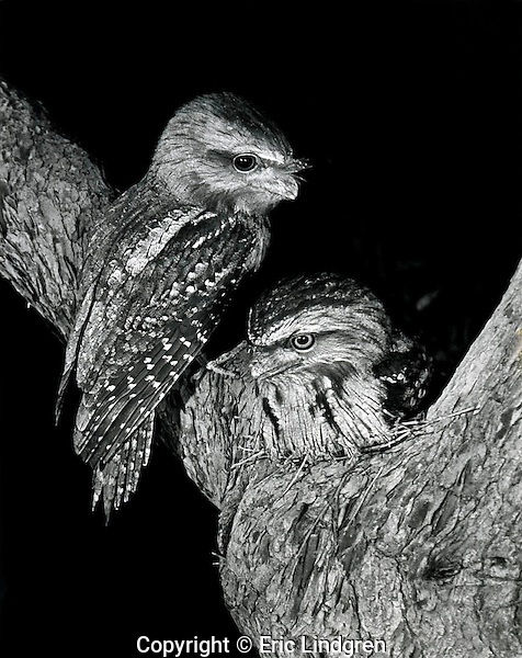 A pair of Tawny Frogmouths at their nest in a Jarrah Tree, Mt Barker Western Australia.  //  Tawny Frogmouth - Podargidae: Podargus strigoides. Length to 45cm, wingspan to NNcm, weight to 700g. A nocturnal species found  Australia-wide, and in southern New Guinea. Mainly insectivorous, but occasionally catches small vertebrates. Feeds principally from a perch waiting for movement on the ground, then flies down to scoop up prey in its wide bill. Pairs for life, and usually uses the same nest-site each year - this pair used the shown nest in both 1957 and 1958 my two years living in Mt Barker. // Jarrah Tree (also known as Swan River Mahogany) - Myrtaceae: Eucalyptus marginata. Height to 40m, DBH 3m, bark fibrous in strips. A heavy dense wood known to resist decomposition for decades. Termite-resistant. Highly prized in cabinet making for its deep red-brown colour and fine grain. Used by aborigines to make shields (=Djarra - from which it takes its name) and weapons. Flowers provide a clear sweet honey. Endemic to south-west Western Australia.  //