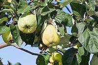 Echte Quitte, Frucht, Früchte, Cydonia oblonga, Quince, fruit, Cognassier