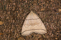 Bogenlinien-Spannereule, Schlehen-Zünslereule, Herminia grisealis, Zanclognatha nemoralis, small fan-foot, Eulenfalter, Noctuidae, noctuid moths, noctuid moth