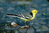 Citrine Wagtail Motacilla citreola. In spring and autumn, it is worth checking any flocks of migrant pipits and wagtails you come across for one of their rarer cousins, vagrants from Asia.Citrine Wagtail Motacilla citreola (L 15-17cm) is unmistakable in breeding plumage but juveniles have grey upperparts and whitish underparts and look rather like a tiny White Wagtail.