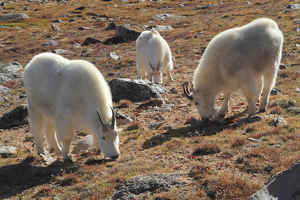 Mountain Goats (Oreamnos americanus) grazing on the alpine slopes of Mount Evans (14250 feet), Rocky Mountains, west of Denver, Colorado, USA Wildlife  photo tours to Mt Evans. .  John leads private, wildlife photo tours throughout Colorado. Year-round.