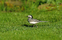 Bachstelze, Bach-Stelze, Motacilla alba, pied wagtail, pied white wagtail
