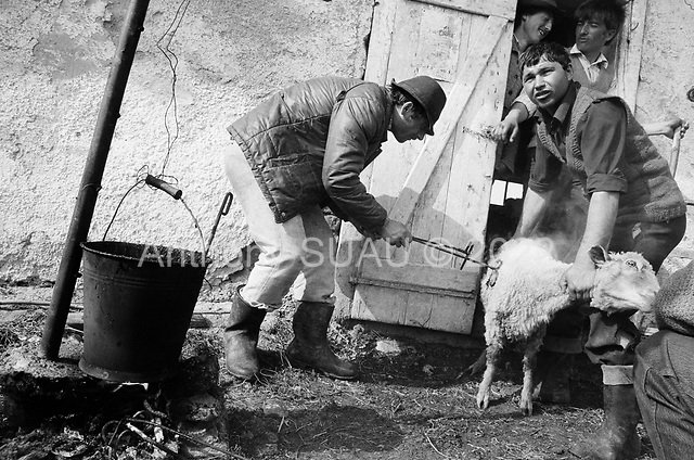Sercaiia, Transylvania<br /> Romania<br /> April 30, 1992<br /> <br /> Branding sheep