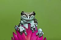 Milk Frog, Trachycephalus resinifictrix