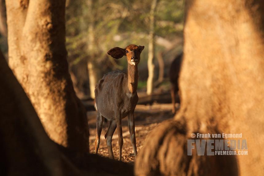 Nyala (Tragelaphus angasii) female at the Fig Forest...Ndumo Game Reserve..Kwazulu-Natal, South Africa.