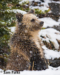 Grizzly bear cub on hind legs in fresh snow. Yellowstone National Park, Wyoming.