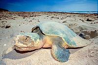 Kemp's ridley sea turtle, Lepidochelys kempii ( endangered ) laying eggs on beach, Rancho Nuevo, Mexico ( Gulf of Mexico ), Atlantic Ocean