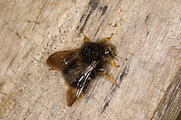 Baumhummel, Bombus hypnorum, Pyrobombus hypnorum, tree bumblebee, new garden bumblebee