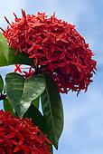 Altamira, Brazil. Red flower.