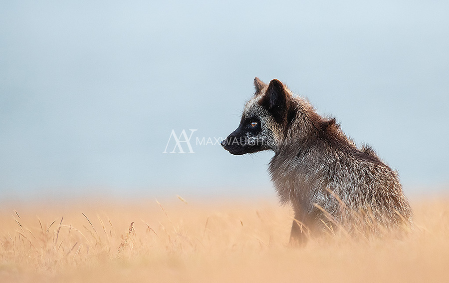 """Black phase red foxes are officially referred to as """"Silver."""" This female is a great example of that, though the brownish tail may hint at some brown ancestry as well. The foxes here come in a variety of colors, from red to black to gray to brown."""