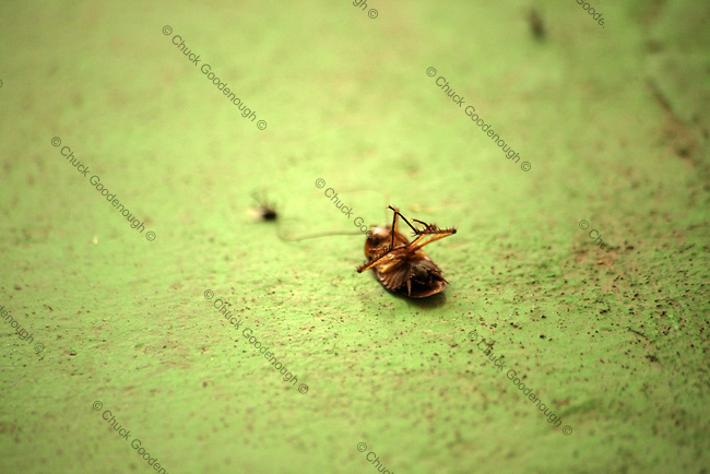 Stock Image of a Cockroach lying dead on the floor.