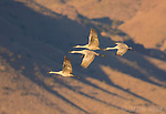 Greater Sandhill Cranes (Grus canadensis) four fly across a pattern of shadows on the distant mountains shortly after sunrise, Bosque Del Apache National Wildlife Refuge, New Mexico, USA