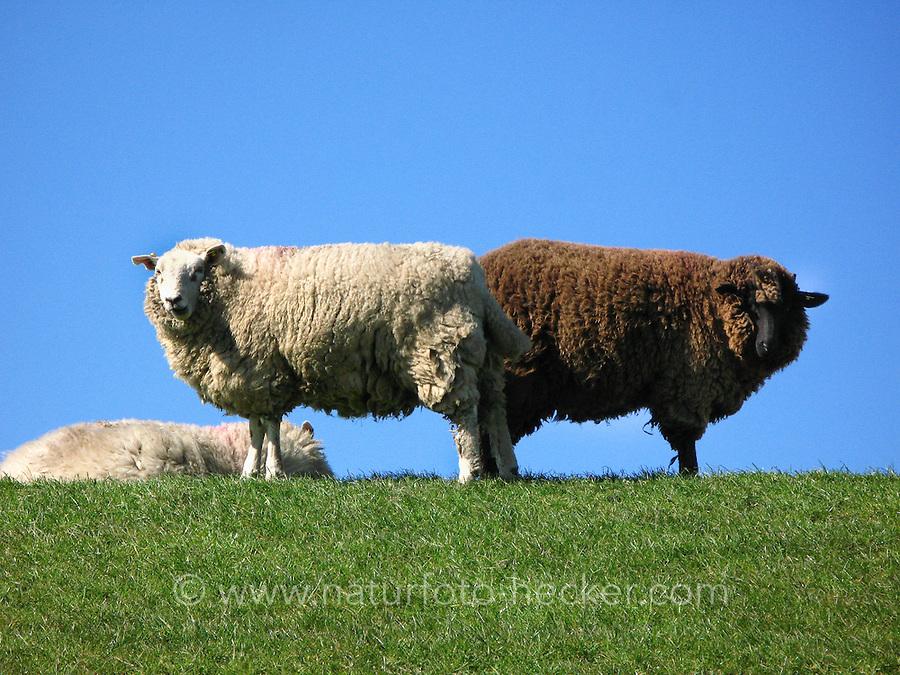 Hausschaf, Haus-Schaf, Schaf, Ovis ammon f. aries, sheep, sheeps