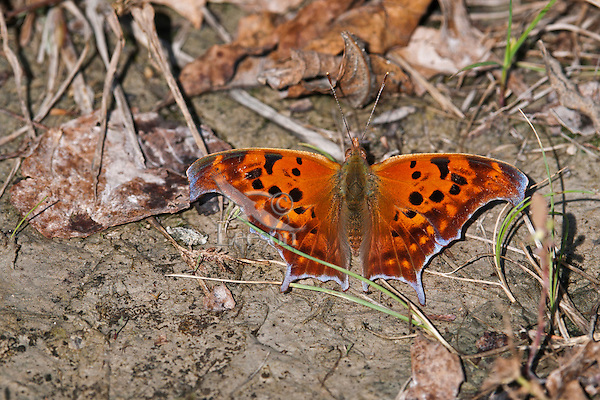 Question Mark butterfly (Polygonia interrogationis) sips minerals from soil along shoreline of Lake Erie, Ontario, Canada. .
