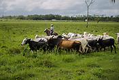 Cria&ccedil;&atilde;o de gado de corte fazenda Tr&ecirc;s Marias ( grupo Lider ) .<br /> Castanhal, Par&aacute;, Brasil.<br /> Foto Carlos Borges<br /> 2016