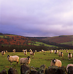 Sheep, Yorkshire