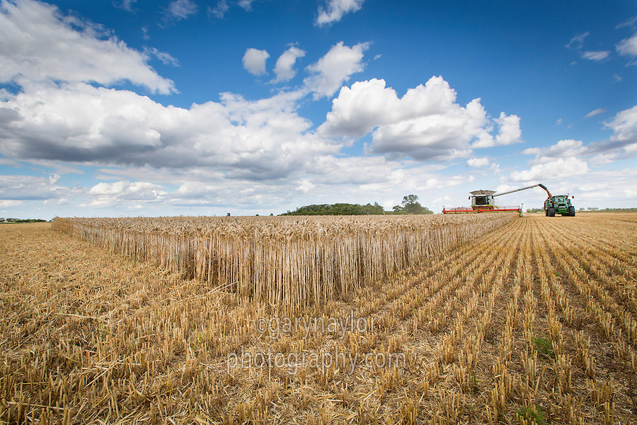 Harvesting feed wheat, loading trailer - August; Holbeach Marsh, South Lincolnshire