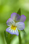 Wild Pansy, Viola tricolor, soft colours, purple, white, yellow, garden.United Kingdom....