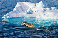killer whale or orca, Orcinus orca, Type B orca, Paradise Bay, Antarctica, Southern Ocean