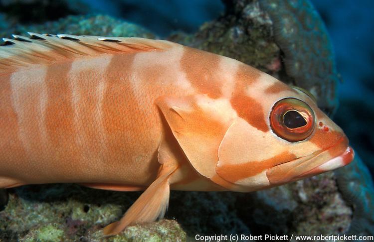 Blacktip grouper, Epinephelus fasciatus, gill, operculum, eye ocean .Thailand....