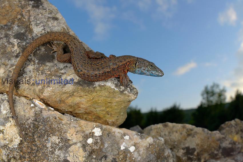 Blue-throated Keeled Lizard (Algyroides nigropunctatus), Croatia