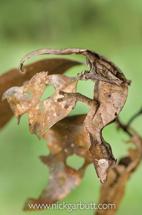 Satanic Leaf-tailed Gecko (Uroplatus phantasticus) resting amongst dead and shrivelled leaves. Ranomafana National Park, Eastern Madagascar.