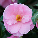 Camellia reticulata 'Brian', glasshouse, early February.