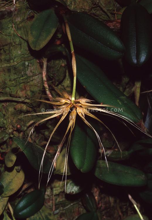 Bulbophyllum vaginatum, The Vagina Bulbophyllum