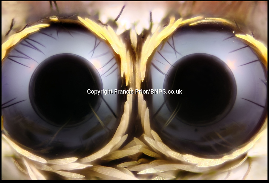 BNPS.co.uk (01202) 558833<br /> Picture: Francis Prior<br /> <br /> Jumping spider eyes - 20x<br /> <br /> Young photographer Francis Prior has found photographic success using the most unlikely of models - dead bugs he found in his parents' house. The 19-year-old amateur photographer uses a macro lens to capture the smallest of details invisible to the human eye. After rounding up dead spiders, flies and beetles from every corner of his parents' home in Halewood, Liverpool, Francis sets them up in his insect studio. The incredible images can feature up to 100 shots layered on top of one another - and each one takes up to six hours to produce.