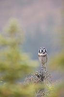 Northern hawk owl perched on spruce tree in the Brooks Range, Arctic, Alaska.