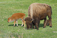 American Bison (Bison bison) cow and two calves.  Yellowstone National Park, WY.  June.  (Probably only one of the calves are hers).