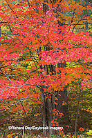 64776-01410 Red tree and fall color Schoolcraft County Upper Peninsula Michigan