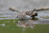 Adult Least Sandpiper (Calidris minutilla) in breeding (alternate) plumage. Bird is on concealment posture in attempt to hide from an aerial predator. King County, Washington. April.