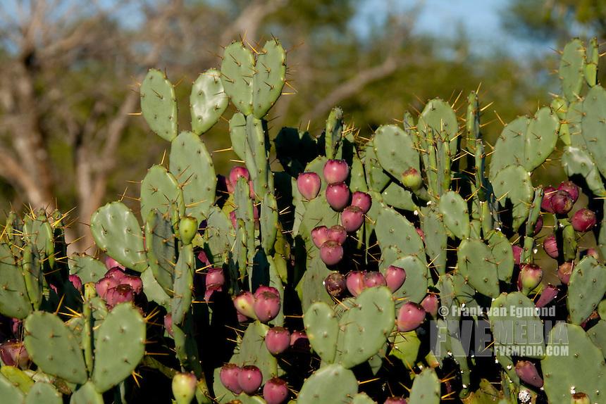 Cactus alien invader plant. Closeup..Winter, May 2009..Hluhluwe-Imfolozi Game Reserve, Kwazulu Natal, South Africa.