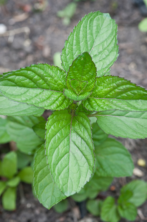 Mentha × piperita f. citrata, late May. Commonly known as Bergamot mint or Eau de Cologne mint.