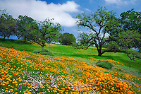 California poppies, birds-eye gilia and valley oaks<br />