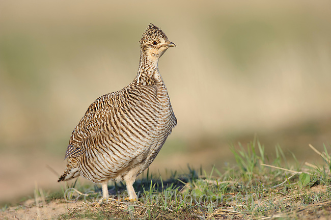 Adult female Lesser Prairie-Chicken (Tympanachus pallidicinctus) on a lek in spring. Cimarron National Grassland, Kansas. April