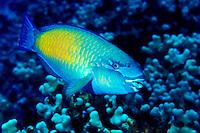 The Bullethead Parrotfish(Scarus sordidus)male,is a regular sight on Hawaii's coral reefs. Hawaiian name is Uhu.